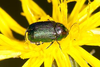 Cryptocephalus sericeus - Seidiger Fallkäfer, Käfer auf Blüte (2)