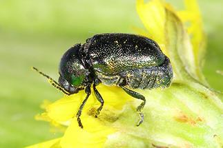 Cryptocephalus sericeus - Seidiger Fallkäfer, Käfer auf Blüte (3)