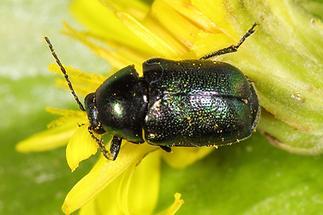 Cryptocephalus sericeus - Seidiger Fallkäfer, Käfer auf Blüte (4)