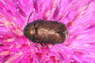 Cryptocephalus sericeus - Seidiger Fallkäfer, Käfer auf Blüte (5)