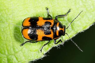 Cryptocephalus sexpunctatus - Sechspunkt-Fallkäfer, Käfer auf Blatt (2)