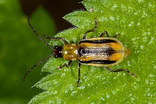 Diabrotica virgifera - Westlicher Maiswurzelbohrer, Käfer auf Blatt