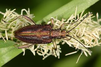 Donacia aquatica - kein dt. Name bekannt, Käfer auf Blüte
