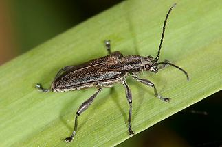 Donacia marginata cf. - Keulenfüßiger Rohrkäfer, Käfer auf Schilfgras