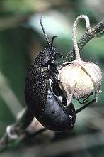 Galeruca pomonae - kein dt. Name bekannt, Käfer auf ...