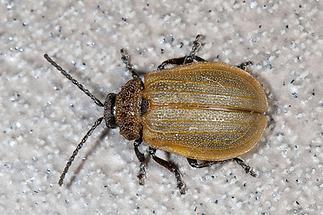 Galeruca pomonae - kein dt. Name bekannt, Käfer auf Balkonboden