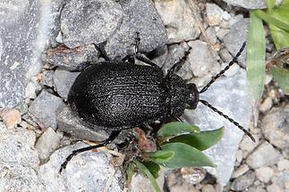 Galeruca tanaceti - Rainfarn-Blattkäfer, Käfer am Boden