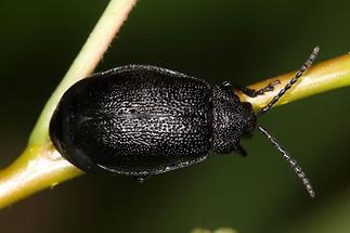 Galeruca tanaceti - Rainfarn-Blattkäfer, Käfer auf Ast