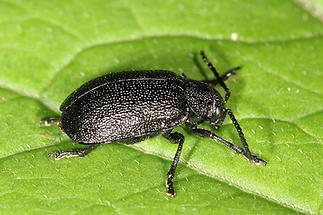 Galeruca tanaceti - Rainfarn-Blattkäfer, Käfer auf Blatt