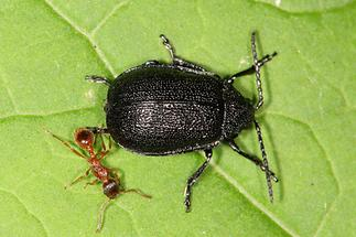 Galeruca tanaceti - Rainfarn-Blattkäfer, Käfer mit Ameise