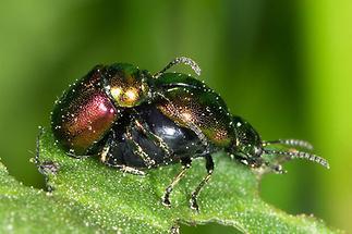 Gastrophysa viridula - Grüner Sauerampferkäfer, Paar