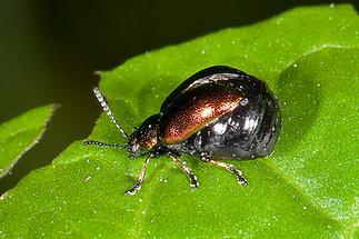 Gastrophysa viridula - Grüner Sauerampferkäfer, Weibchen auf Blatt (1)