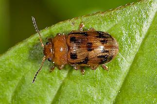 Gonioctena quinquepunctata - Fünfpunktiger Blattkäfer, Käfer auf Blatt