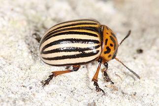 Leptinotarsa decemlineata - Kartoffelkäfer, Käfer auf Klostermauer (2)