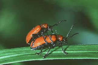 Lilioceris lilii - Lilienhähnchen, Käfer Paar