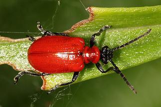Lilioceris lilii - Lilienhähnchen, Käfer auf Blatt (1)