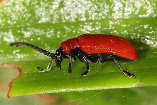 Lilioceris lilii - Lilienhähnchen, Käfer auf Blatt (2)