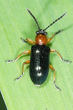 Oulema melanopus od. duftschmidi - Grashähnchen, Käfer auf Halm