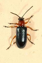 Oulema melanopus od. duftschmidi - Grashähnchen, Käfer auf Klostermauer