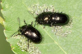 Phratora sp. - kein dt. Name bekannt, Käfer und Paar