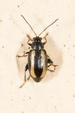 Phyllotreta undulata - Gewelltstreifger Kohlerdfloh, Käfer auf Mauer