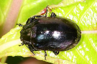 Plagiosterna aenea - Erzfarbener Erlenblattkäfer, Käfer ev. auf Blatt