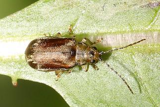 Pyrrhalta viburni - Schneeblattblattkäfer