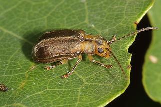 Pyrrhalta viburni - Schneeballblattkäfer, Käfer auf Blatt (1)