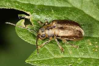 Pyrrhalta viburni - Schneeballblattkäfer, Käfer auf Blatt (2)