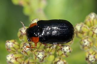 Smaragdina aurita - kein dt. Name bekannt, Käfer auf Blüte (1)
