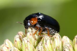 Smaragdina aurita - kein dt. Name bekannt, Käfer auf Blüte (2)
