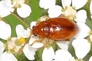 Sphaeroderma testaceum - Distel-Flohkäfer, Käfer auf Blüten