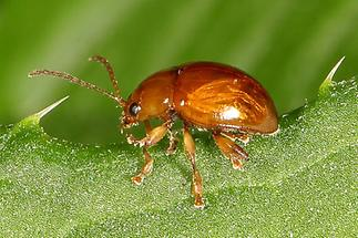 Sphaeroderma testaceum - Distel-Flohkäfer, Käfer frisst auf Blatt