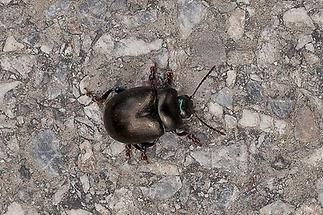 Timarcha goettingensis - Tatzenkäfer, Käfer auf Fahrweg