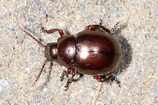 Timarcha metallica - kein dt. Name bekannt, Käfer auf Fahrweg