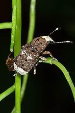 Anthribus albinus - Großer Breitrüssler, Käfer auf Stengel (1)