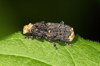 Platyrhinus resinosus - kein dt. Name bekannt, Käfer auf Blatt (1)