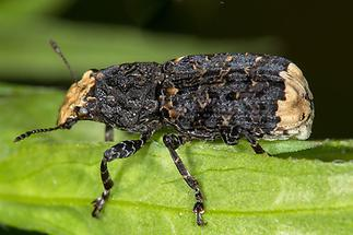 Platyrhinus resinosus - kein dt. Name bekannt, Käfer auf Blatt (2)