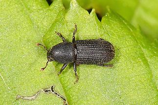 Hylastes cunicularius - Schwarzer Fichtenbastkäfer, Käfer auf Blatt