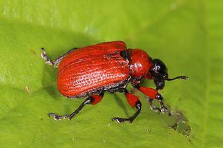 Apoderus coryli - Haselblattroller, Käfer auf Blatt (1)