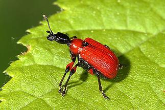 Apoderus coryli - Haselblattroller, Käfer auf Blatt (2)