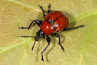 Attelabus nitens - Eichenblattroller, Käfer auf Blatt (2)