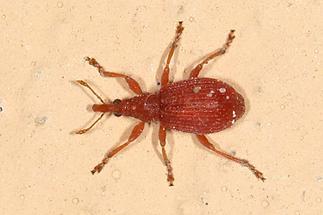 Apion cf. cruentatum - kein dt. Name bekannt, Käfer auf Klostermauer