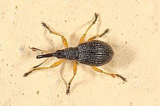 Protapion cf. fulvipes - Rotfüßiger Klee-Spitzmaulrüssler, Käfer auf Klostermauer