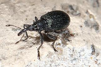 cf. Ischnopterapion virens - Grüner Klee-Spitzmaulrüssler, Käfer auf Fahrweg