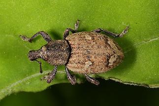 Alophus sp. (eine von 5 Arten) - kein dt. Name bekannt, Käfer auf Blatt (1)
