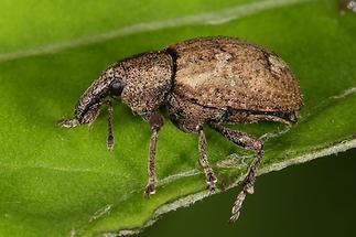 Alophus sp. (eine von 5 Arten) - kein dt. Name bekannt, Käfer auf Blatt (2)