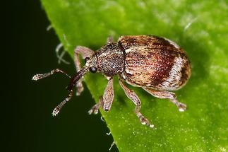 Anthonomus pedicularius - Gewöhnlicher Weißdorn-Blütenstecher, Käfer auf Blatt