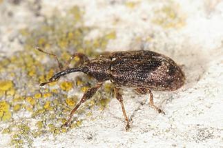 Anthonomus pomorum - Apfelblütenstecher, Käfer an Wand