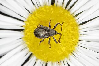 Anthonomus rubi - Erdbeerblütenstecher, Käfer auf Gänseblümchen